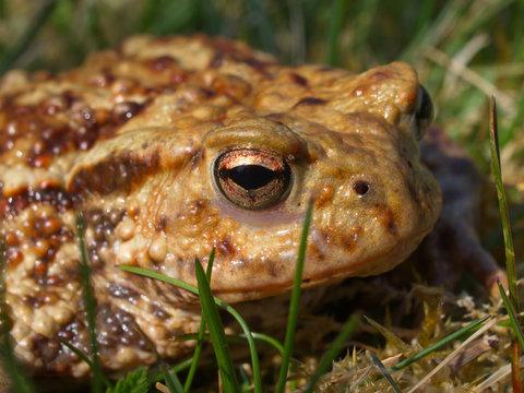 Erdkröte ( Bufo bufo)