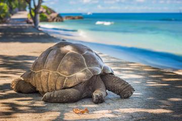 Photo sur Aluminium Tortue Seychelles giant tortoise