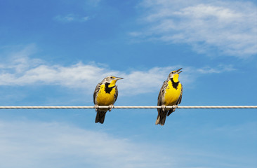 Meadowlarks on a Wire