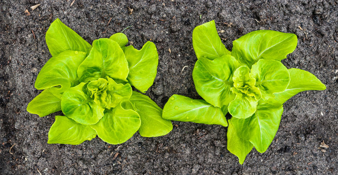 Two young Butterhead lettuce plants from above