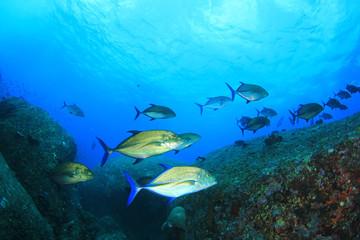 School of Bluefin Trevally fish hunting