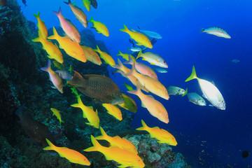 School yellow fish: Yellowsaddle Goatfish