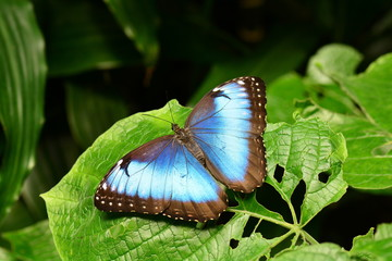 Blue Morpho butterfly lands in the gardens.