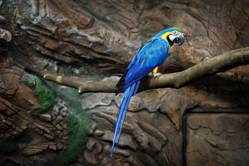 macaw parrot blue sits on a rock at the zoo