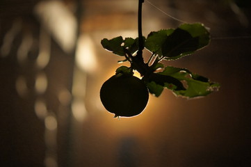 Apple with backlight