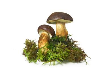 Mushroom Bay Bolete (Boletus radius) on white background
