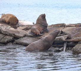 Sea eared seals on a pier