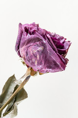 withered rose made in studio with fill flash