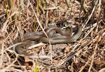 Group of snakes bask in the sun dry grass.