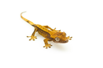 young gecko