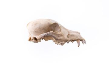 Dog skull isolated on white background.