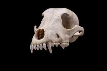 Dog skull isolated on black background.