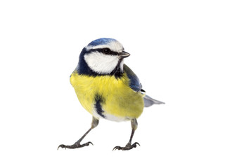 Blue tit on white background looking to the right