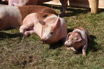 mailai, maiale allevamento fattoria