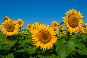 sunflower field scene
