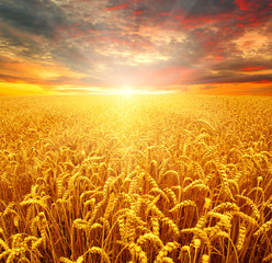 Wall Mural - Field of wheat