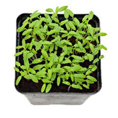 Green shoots of seedlings