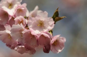 kirschblüte 83
