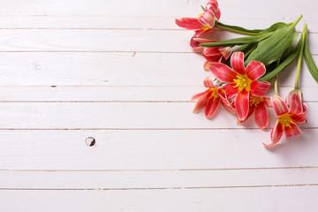 Fresh  spring yellow red tulips