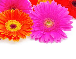 Foto op Canvas Gerbera gerbera flower