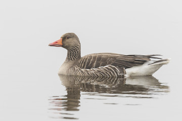 Greylag goose on white