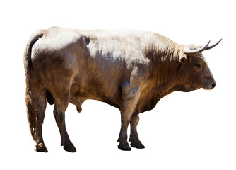 Fototapete -  Adult white   bull, isolated over white