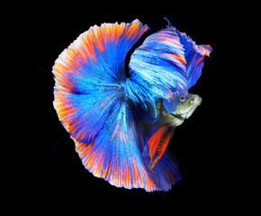 Siamess fighting fish,colorful half moon.