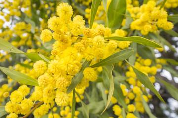 Acacia dealbata flower (silver wattle, blue wattle or mimosa)