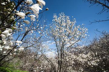 Magnolia garden, abstract natural landscape for your design