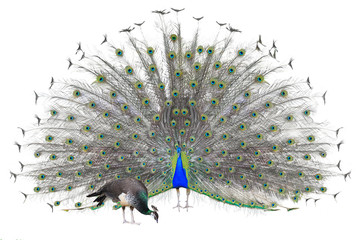 Male Indian  Peacock displaying tail feathers Isolated On White Wall mural