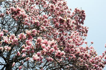 Flowering magnolia tree densely covered with beautiful fresh pin