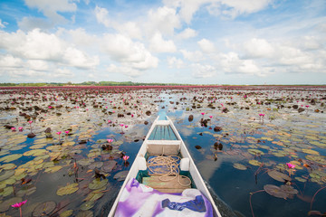 "pink lotus in lotus swamp at ""Talay-Noi"" Pattalung province ,Tha"
