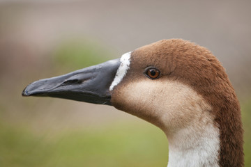 wild swan goose