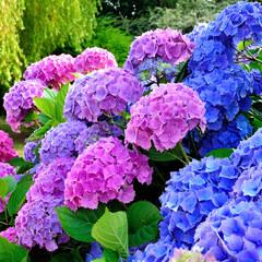 Photo sur Plexiglas Hortensia Hortensias dans un jardin