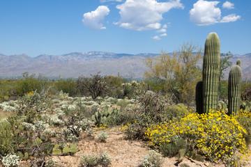 Flowering Desert spring in Saguaro National Park, Arizona, USA