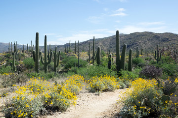 Travel blooming Sonoran Desert in Saguaro National Park, Arizona