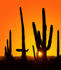 Silhouettes of giant cactus at sunset in Saguaro National Park,
