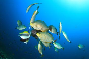 Rabbitfish and Bannerfish eating Jellyfish