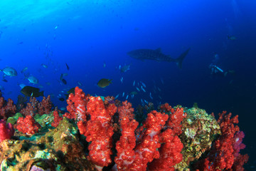 Coral reef, whale shark and scuba diver