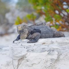 Island iguanas in wildlife. Cayo Largo