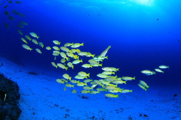 School yellow fish: Yellowfin Goatfish