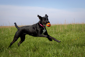 Black dog running in green grassy field with orange ball