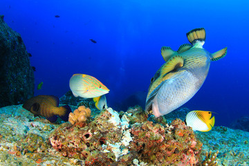 Titan Triggerfish and Wrasse feeding on coral