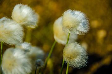 Landmannalaugar - Amazing flower field in Iceland