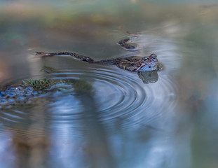 Frog in still water