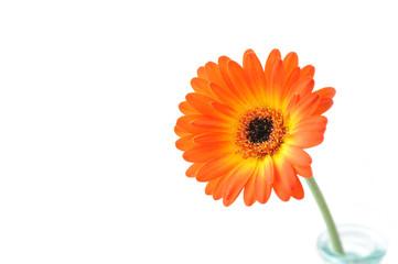 Orange gerbera . Macro. Gerbera jamesonii.