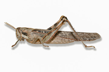 Gray Boird Grasshopper-Isolated on White Background with Drop Sh