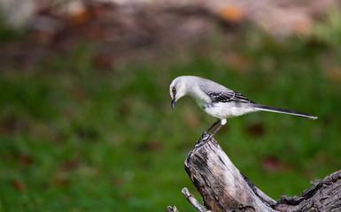 Tropical Mockingbird On Tree Stump In Mexico