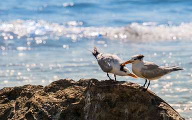 Royal Terns on Rocks in Mexico