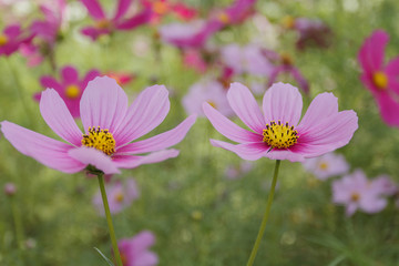 Wall Mural - Close up cosmos flower in the garden for background